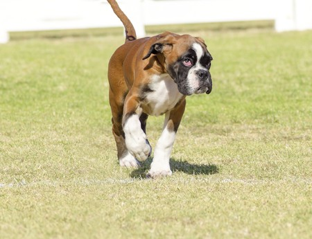 A young, beautiful, fawn red mahogany and white, medium sized Boxer puppy dog with cropped ears walking on the grass. Boxers have a short and blunt muzzle and they are a highly intelligent and energetic breed.
