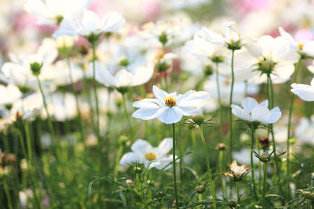 white asian chamomile field  Stock Photo - 9071010