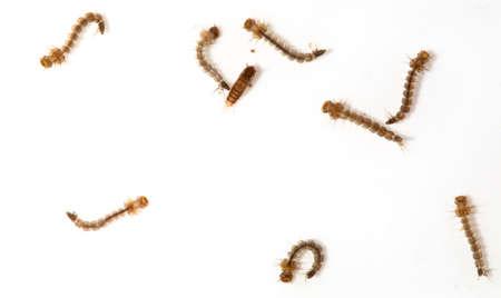 ciclo del agua: Larvas de mosquitos aislados Foto de archivo