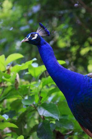 Peacock looking