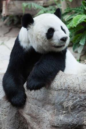 interested panda Stock Photo