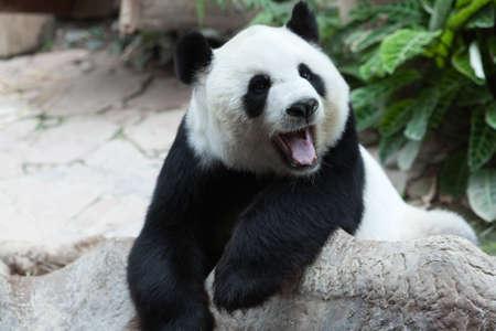 Yawning panda Stock Photo