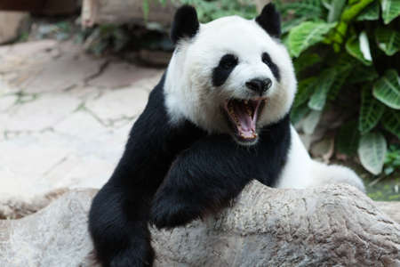 Yawning panda photo
