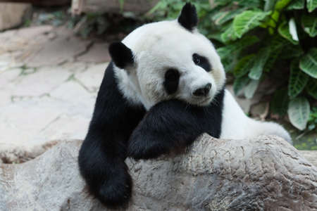panda bear: Sleepy panda Stock Photo