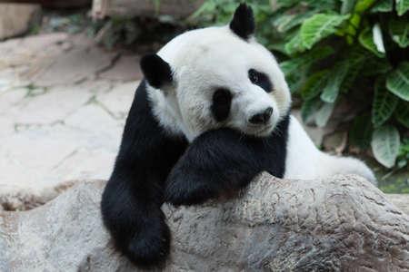 Sleepy panda Stock Photo