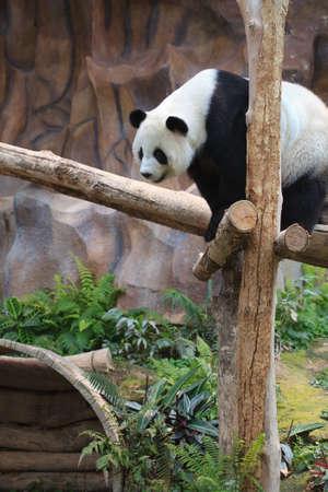 Cute panda climbing