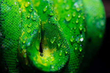 close up on coiled python