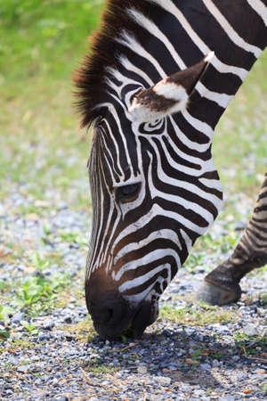 zebra chewing grass Stock Photo