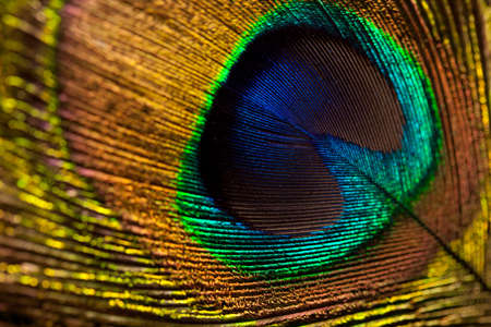 peacock eye: peacock feather