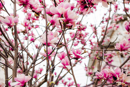 hause: Beautiful light pink magnolia flowers on white sky background. Stock Photo