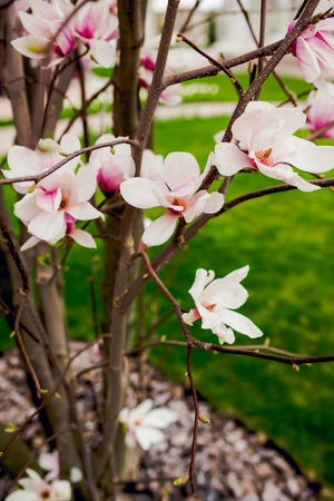 hause: Beautiful light pink magnolia flowers on green grass background.