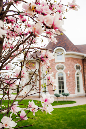 hause: Beautiful light pink magnolia flowers on hause background.