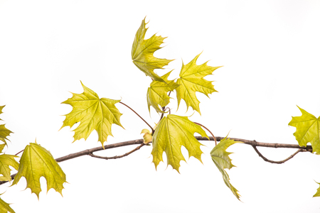 Branch with green fresh leaves of the maple