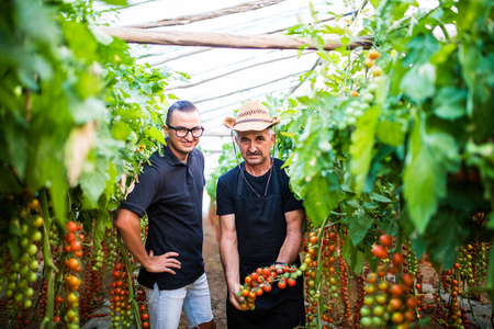 agronomist: Dad and son check harvest of cherry tomato in greenhouse family business. Agriculture Stock Photo