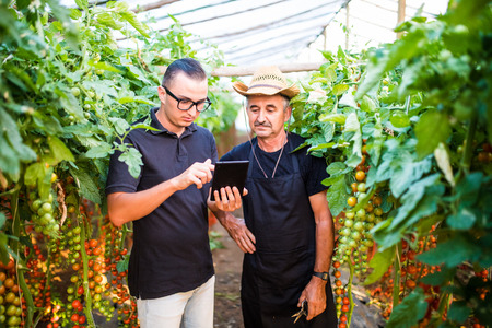 Two agriculture farmer workers ckecking orders of cherry tomato online on tablet from costumers in greenhouse. Agriculture business Agriculture
