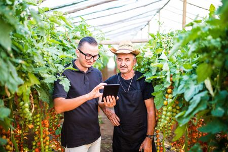 agronomist: Two agriculture farmer workers ckecking orders of cherry tomato online on tablet from costumers in greenhouse. Agriculture business