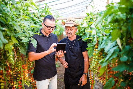 Two agriculture farmer workers ckecking orders of cherry tomato online on tablet from costumers in greenhouse. Agriculture business. Agriculture Stock Photo