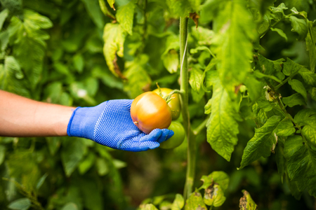 Red tomato in fermers hang in garden hause