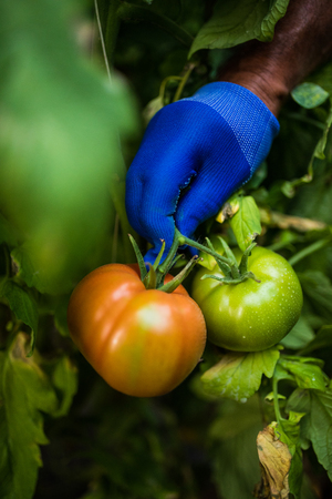 Tomato harvest farmers hands with freshly harvested tomatoes. Agriculture Stock Photo