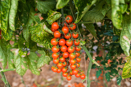 Branch of fresh cherry tomatoes hanging on trees
