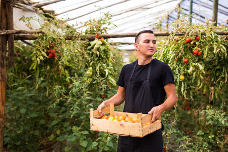 carrying: Young man farmer carrying tomatoes in hands  in wooden boxes in a greenhouse. Small agriculture business. Stock Photo
