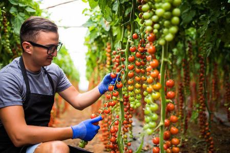 Young man with cherry tomatoes in greenhouse Agriculture Banque d'images