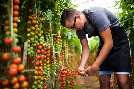 agronomist: Farmer checking red cherry tomatoes harvest for collection in greenhouse. Agriculture Stock Photo