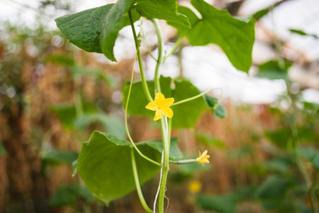 plantlet: Seedlings cucumbers. The cultivation of cucumbers in greenhouses. Seedlings in the greenhouse. Stock Photo