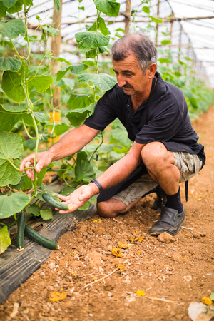 Farmer checking cucumbers in greenhouse. Small mature cucumbers in farmers hands.