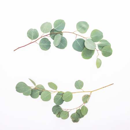 Green eucalyptus branches leaves on white background