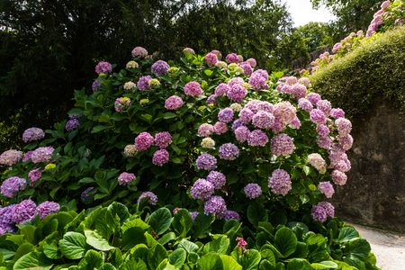 Bush d'hortensia fleur rose qui fleurit dans le jardin Banque d'images - 88615060