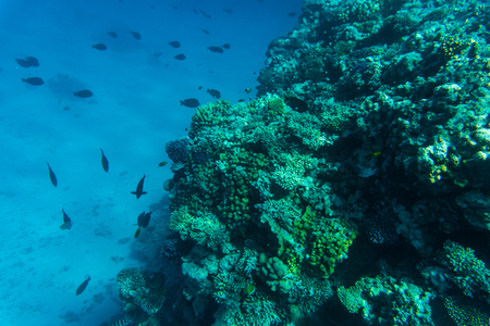 colorful coral reef with hard corals at the bottom of tropical sea on blue water background- underwater photo