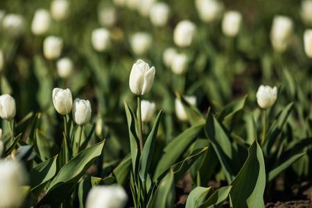 Beautiful white tulips flowerbed closeup. Flower background. Summer garden landscape design.