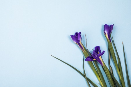 beautiful dark purple iris flower isolated on blue Stock Photo
