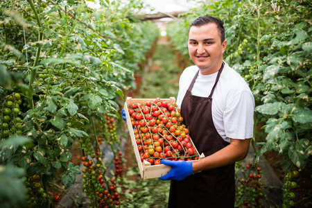 Young farm worker with full box of red cherry tomatoes in greenhouse. Tomatoes harvest.