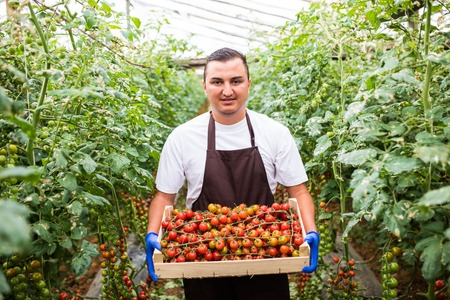 Young man farm worker, collects cherry tomatoes harvest in boxes in the greenhouse. Stock Photo