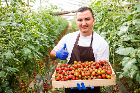 Young famr worker with thumbs up holding wooden box with cherry tomatoes harvest in greenhouese background