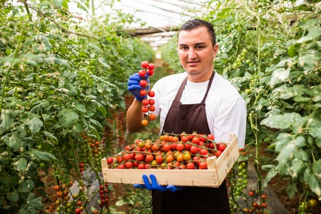Farmer man collects cherry tomatoes with scissors harvest in wooden boxes in the greenhouse family business Stock Photo