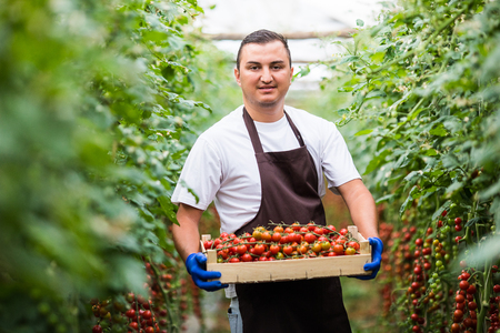 Young man worker harvesting crop of cherry tomatoes at greenhouse Stock Photo