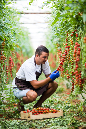 Farmer man collects cherry tomatoes with scissors harvest in the greenhouse family business