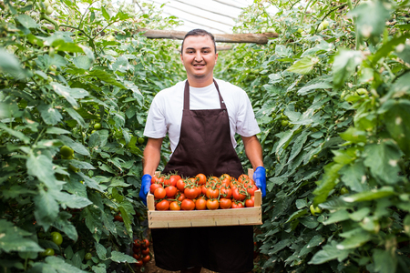 Happy young man farmer carrying tomatoes in wooden boxes in a greenhouse