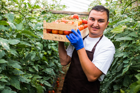 Young man farmer carrying tomatoes in hands in wooden boxes in a greenhouse. Small agriculture business.