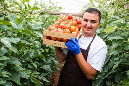Happy organic farmer carrying tomatoes in a greenhouse