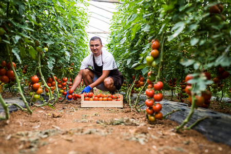 Young man picking fresh tomato in wooden boxes for sale