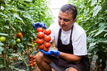Caucasian mans hands holding fresh red tomatoes outdoor on green grass background that picked on a greenhouse Stock Photo