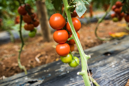 Big ripe red tomato fruits hanging on the branch in greenhouse in summertime