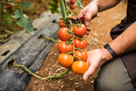 Tomatoes in the garden are cut with scossors in man hand before colections for sales. Vegetable garden with plants of red tomatoes.