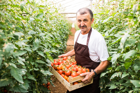 Worker man carrying tomatoes in boxes before sales in a greenhouse Stock Photo