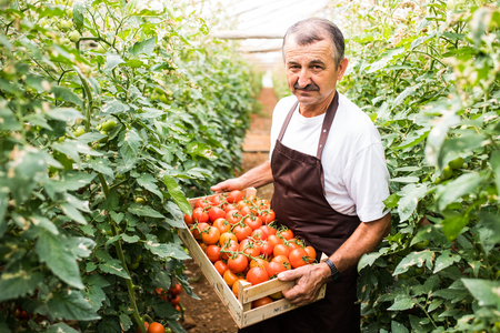 Middle age man carry red tomatoes in wooden boxes picked from greeenhouse.