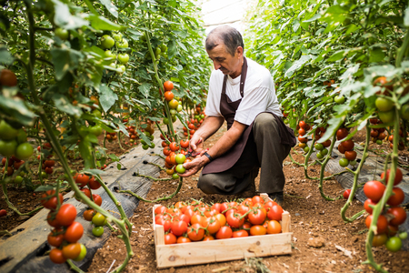 Mature man in hat check the red cherry tomatoes harvest in greenhouse family business